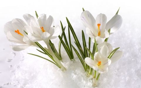 Высаживаем первоцветы первоцветы,цветы,цветник,крокусы,барвинок,посадка,уход