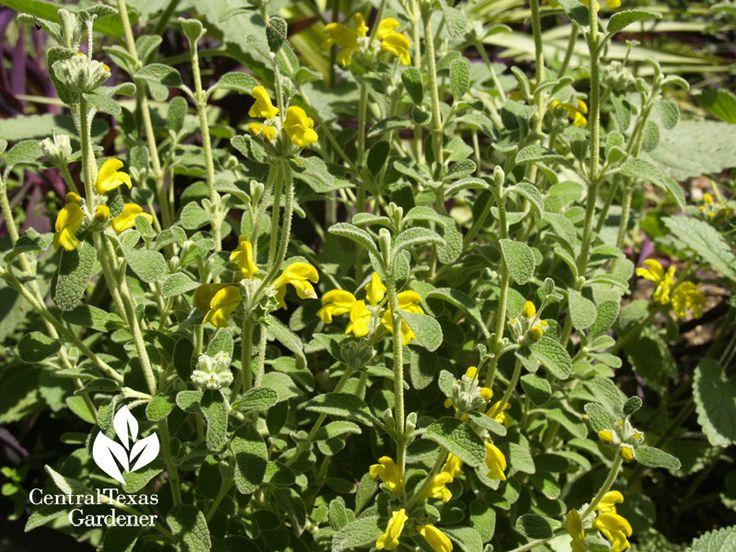 Phlomis lanata, a dwarf Jerusalem sage.: Fabulous Plants, Texas Gardens, Blog Archives, Dwarfs Jerusalem, Jerusalem Sage, Gardens Blog, Central Texas, Gardens Design, Phlomi Lanata