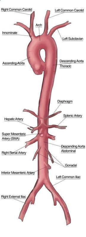 The Aorta and its branches.