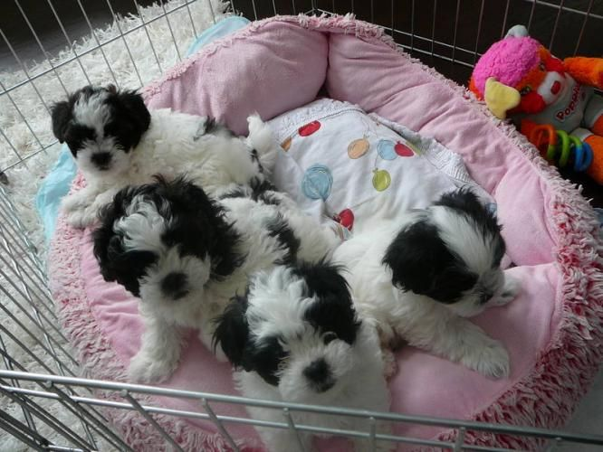 shih tzu mix for sale shih tzu puppies bichon shih tzu puppies for sale in 6175