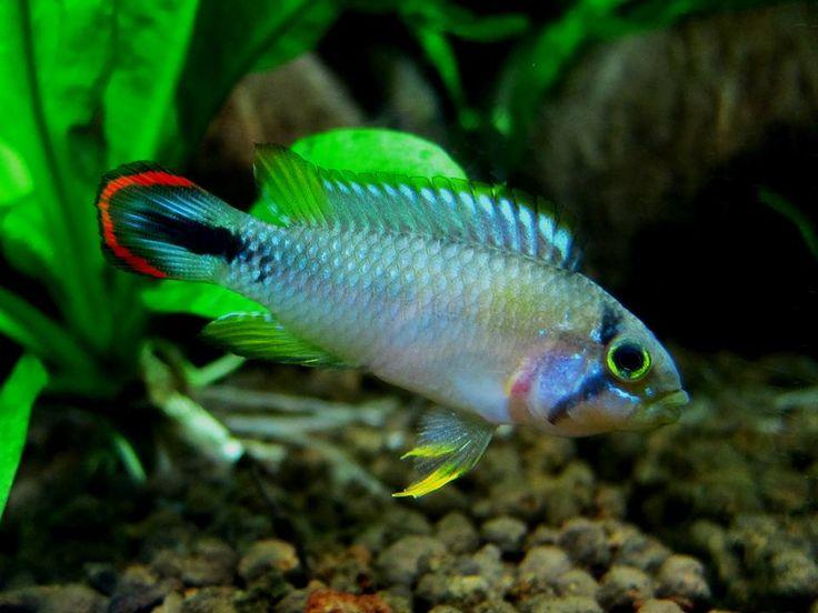 ... ? ?? ??? ? tank fish fish jellybean 1968 jelly pin 5
