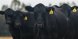 Cattle Price Collapse Questioned