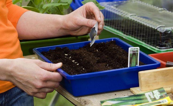 Gurkensamen können in Anzuchtschalen oder Einzeltöpfen vorgezogen werden