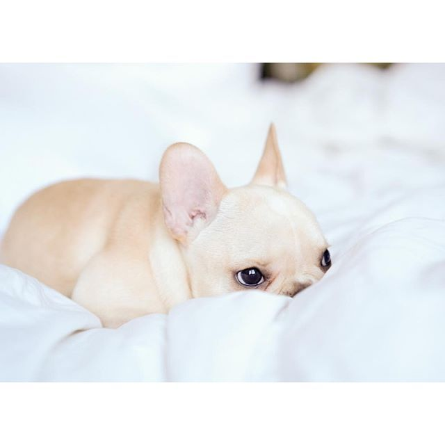 Leo, the French Bulldog Puppy has his eye on you, @frenchieleo on instagram.