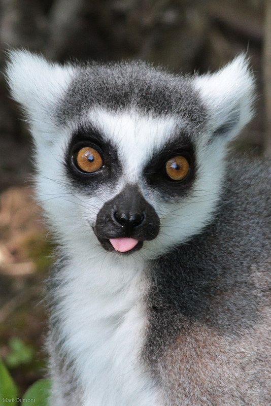 Ring-Tailed Lemur by Mark Dumont