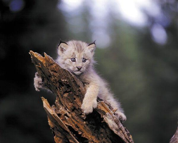 Canadian Lynx kitten - wow!