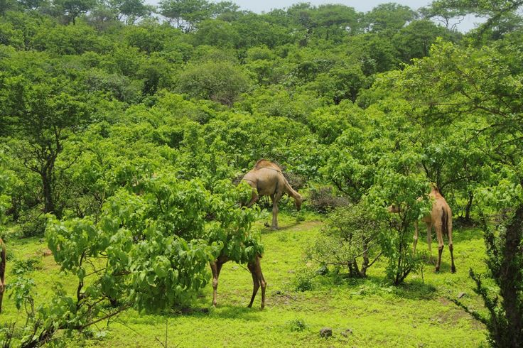"""Beautiful Oman! Salalah located in southern #Oman is another popular tourist destination. This lush green haven is also known as the """"Perfume capital of #Arabia"""". #LuxuryTravel #MiddleEast"""