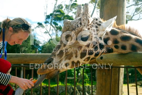 Woman & Child feed Giraffe, Auckland Zoo, NZ royalty-free stock photo