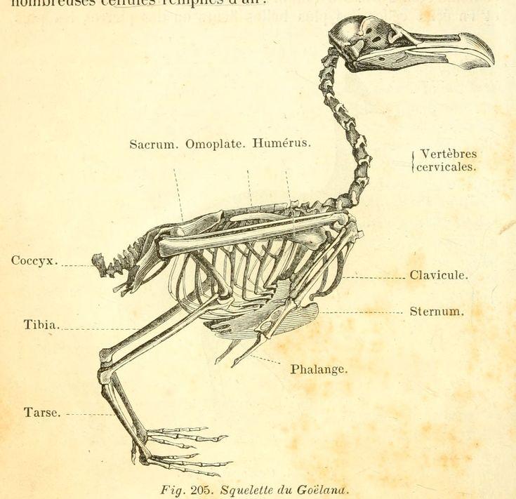 dessins scolaires zoologie - Dessins scolaires zoologie 370 squelette du goeland - Gravures, illustrations, dessins, images
