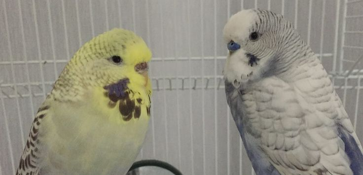 Both of my budgies where bought at the same time and are brother and sister to each other. They are about 3 year old and both enjoy being out of the cage a lot and flying about.
