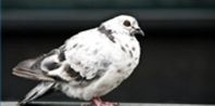 How to Keep Pigeons Away From Bird Feeders