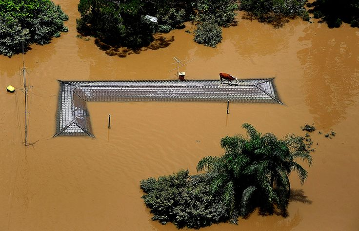 A Cow Rescues Herself During the Queensland Floods in Australia, January 2011 Photo and caption by Jack Mikrut @Smithsonian Magazine