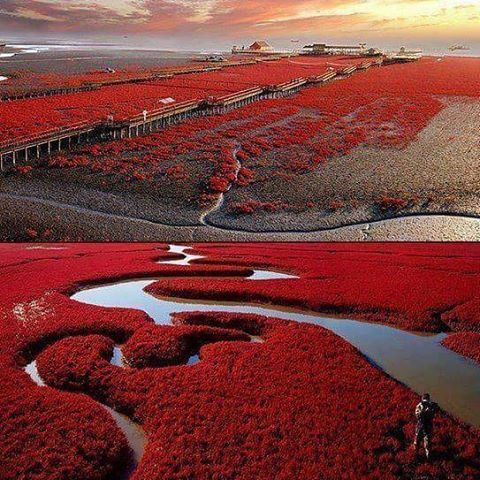 #panji #red #beach #china #redbeach #beachbody #beach #amazig #wow #wow #wonder #wonderful #cool #super #nature #magicofnature #china #chinatown #chinas