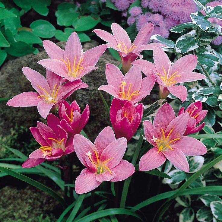 Habranthus robusta - J. Parker's