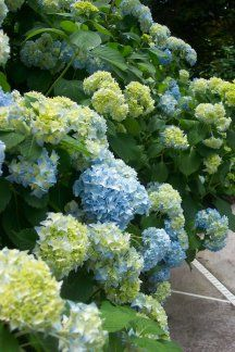 OK, so I have a lot of hydrangea plants around the pool - who could blame me.