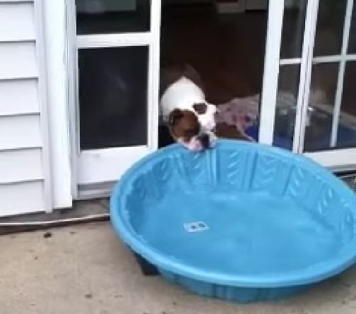 Bulldogge Gus vs. Pool