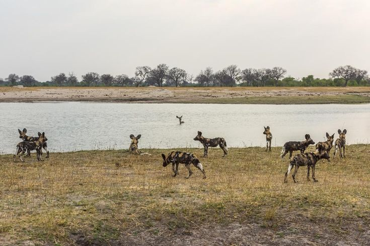 Standoff! Kudu vs wild dogs... so how did it play out?