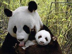 animales de la naturaleza de la panda lleva el fondo fondo de pantalla de 1920x1080