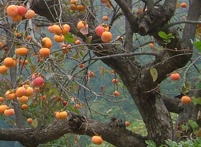 American Persimmon - fruit that tastes similar to dates and beautiful fall color - why aren't they planted more?