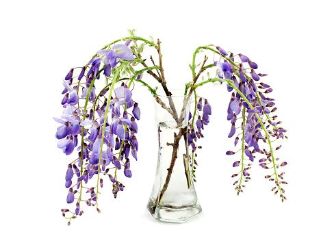 wisteria branches inside glass vase over white background - foto stock