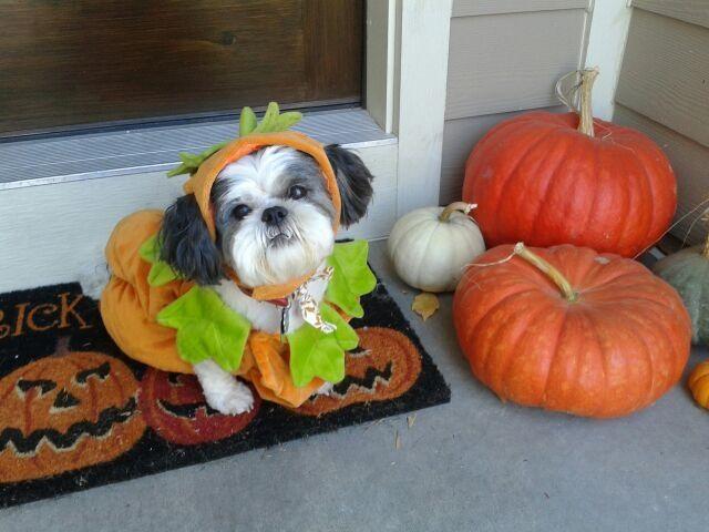 127 best doggy halloween images on pinterest doggies pets and diydoghalloweencostumes 2012 dog fence diy halloween dog costume photo solutioingenieria Gallery