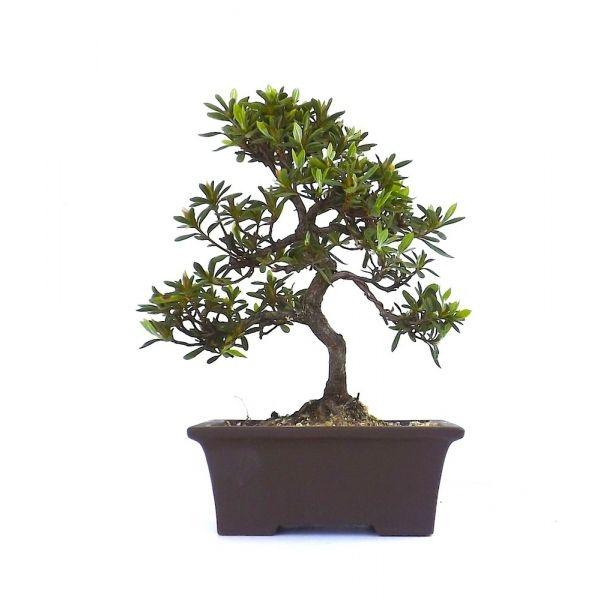 17 best ideas about bonsai azalea on pinterest bonsai bonsai trees and bonsai forest. Black Bedroom Furniture Sets. Home Design Ideas