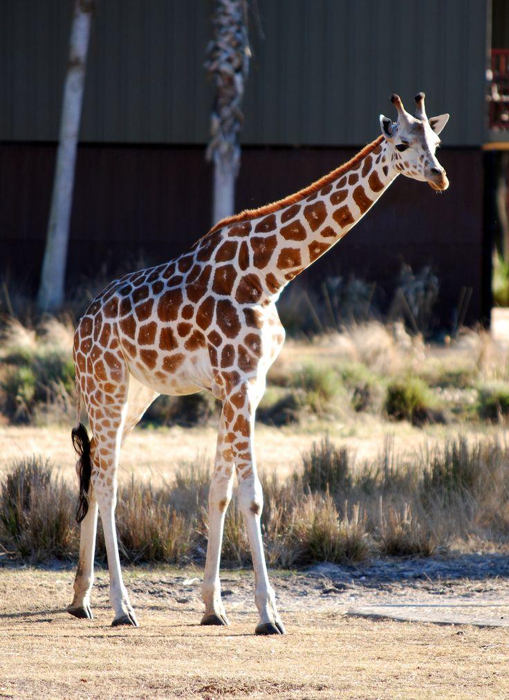 File:Giraffa camelopardalis - Disney's Animal Kingdom Lodge - 01- 2010-01-