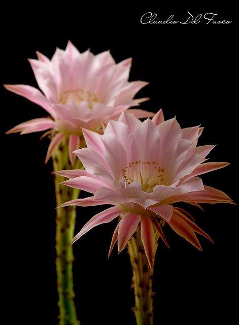 ~~Echinopsis flowers - Double ephemeral flowering by claudiodelfuoco~~