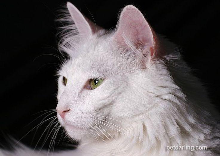 El gato de angora turco es un gato mediano.  Peso del gato Angora: entre 3 kilos y 4,5 kg Color del Gato Angora: blanco, (pero existen ejemplares en otros colores).