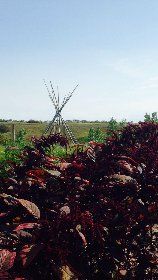 Amaranth growing at Wanuskewin North of Saskatoon, Saskatchewan
