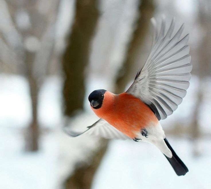 Hi, my name is Mr. Bullfinch - Pixdaus