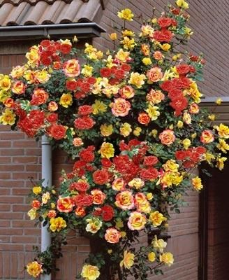 Joseph's Coat Climbing Rose, my favorite climbing rose