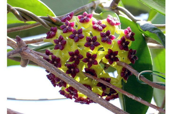 Hoya cinnamomifolia, a flor de cera