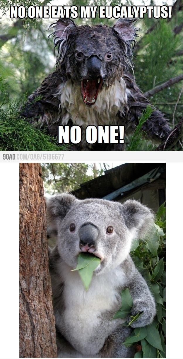 My first thought to angry koala