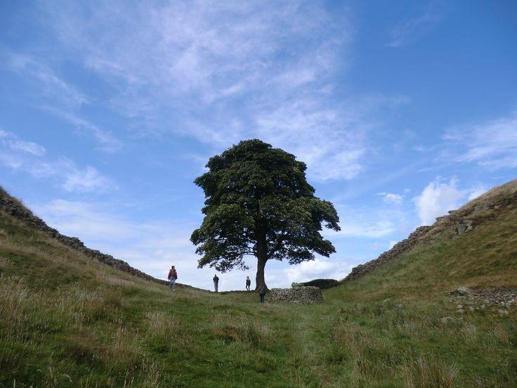 The Robin Hood Tree near Hadrians Wall in Northumberland