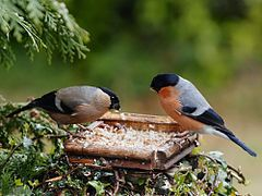 Dom-fafe, macho (direita) e fêmea