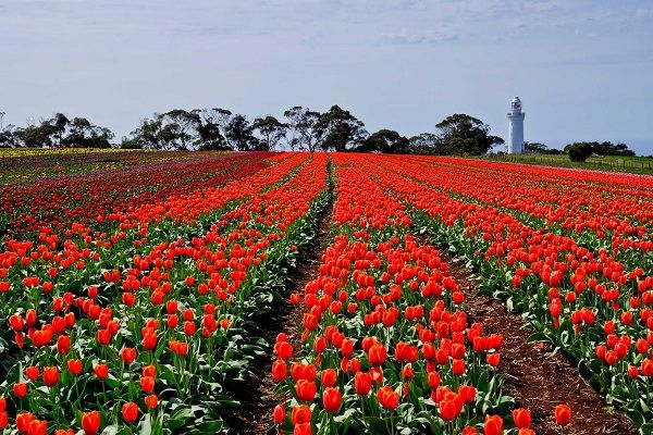 Red Tulips of Table Cape ~ photo by Carol Haberle and article for think-tasmania.com ~ #tulips #Tasmania #photography