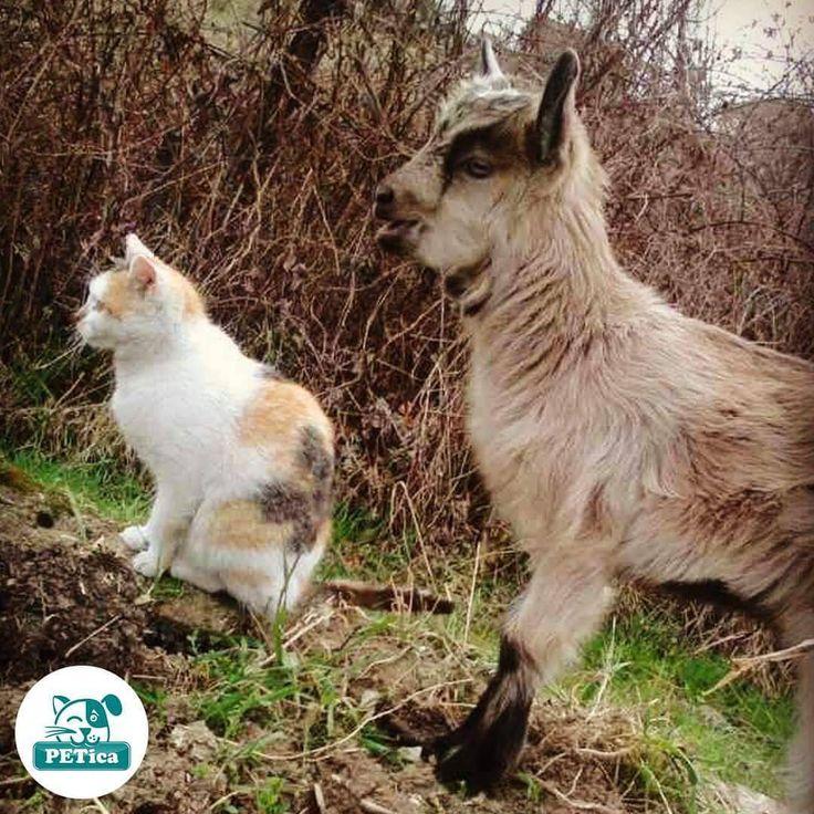 Just met a new friend on my student exchange program 😆 @andabanda85 #PETica ______________________________________________________________  #cat #cats #catstagram #catoftheday #catofinstagram #catlover #cute #cutecat #instacat #pet #pets #petsofinstagram #petstagram #petoftheday #photooftheday #instaphoto #instadaily #picoftheday #cute #kitty #kitten #mačka #lovecats #catlovers #catsworldwide #catworld #cutecat #catsofinstagram #cutekitty