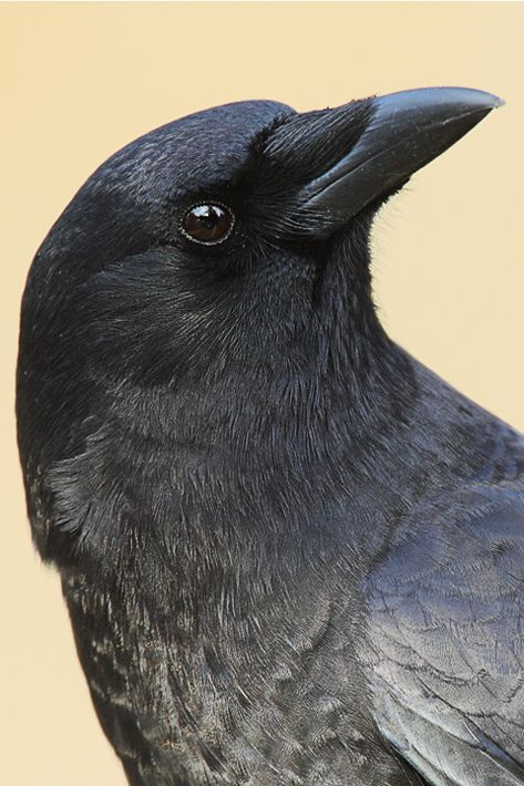American Crow- this is a beautiful bird who is highly intelligent and shouldn't be considered as bad luck