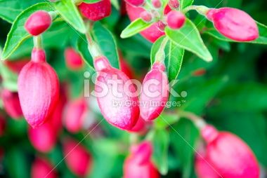 Fuchsia Royalty Free Stock Photo