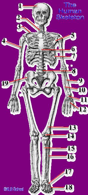 61 best images about skeletal system on pinterest | human anatomy, Skeleton