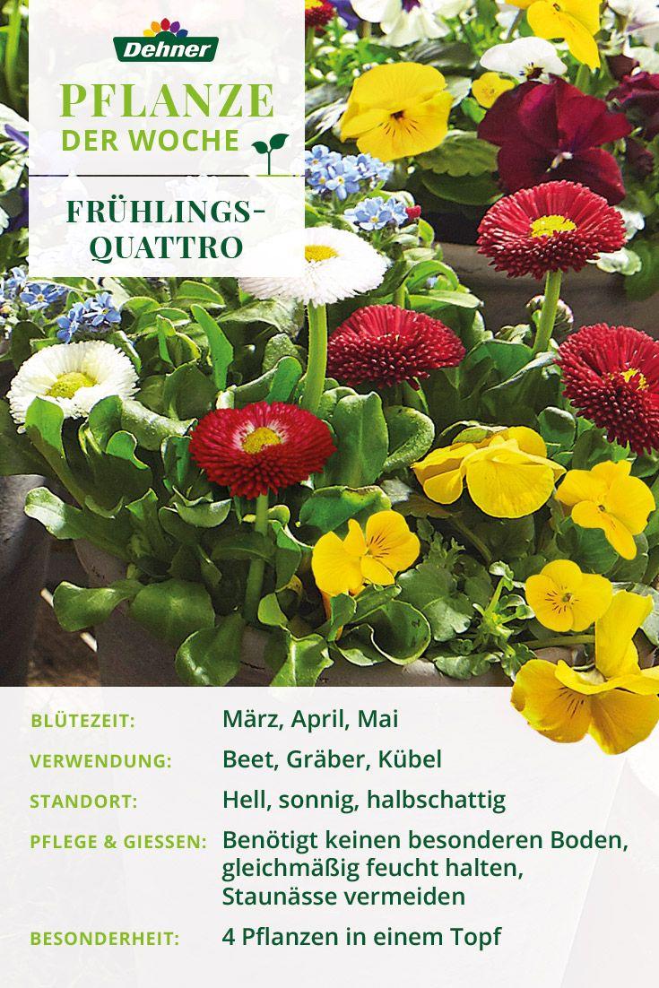 Pflanze Der Woche Fruhlingsquattro Pflanzen Wachsenden Pflanzen Gartenpflanzen