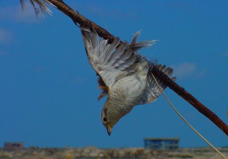 Cara Menangkap Burung yang Lepas Dari Sangkar Sesuai Jenis Burung