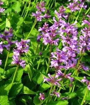 orchid dictionary english to hindi download