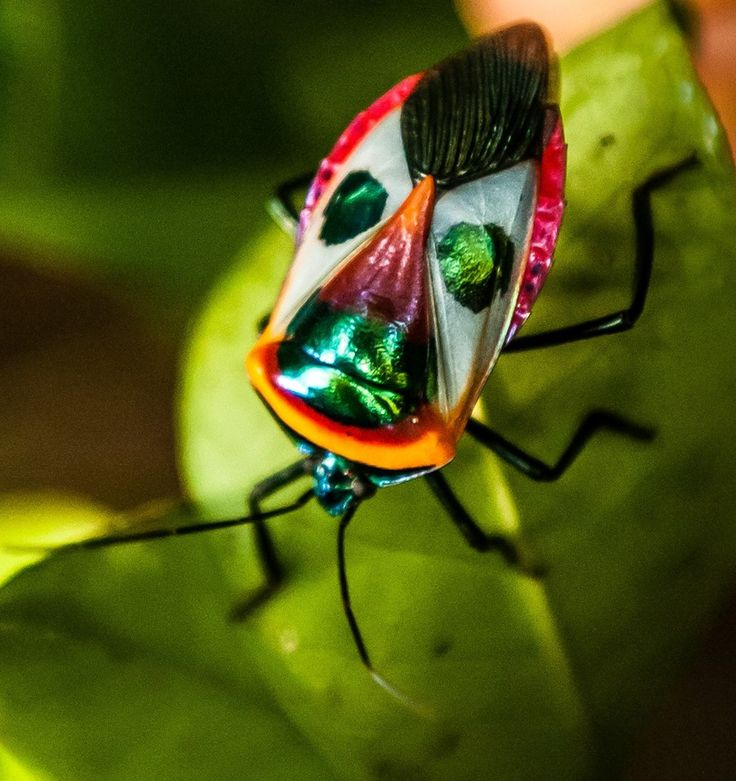Hemiptera /hɛˈmɪptərə/ is an order of insects most often known as the true bugs (cf. bug), comprising around 50,000–80,000 species of cicadas, aphids, planthoppers, leafhoppers, shield bugs, and others