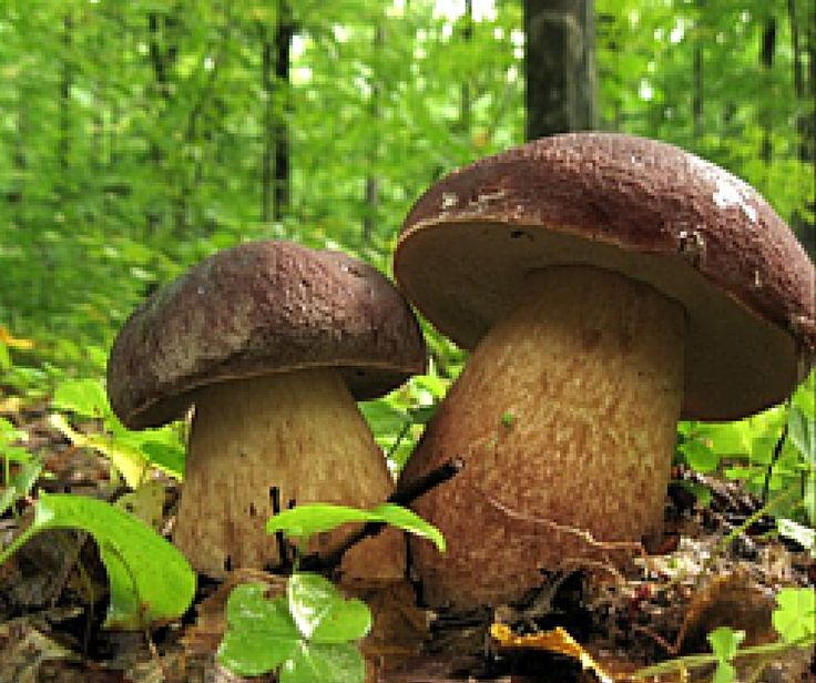 Alla mattina troviamo sopra la cappella dei funghi l'umidità della notte, una coppia di porcini.