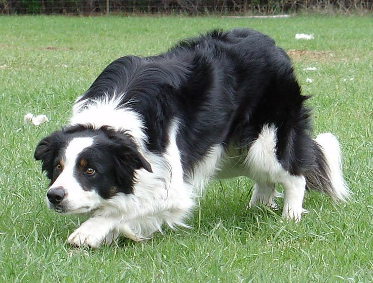 "Farm collie/Farm Shepherd dog photo | ... Collies and other ""eye"" dogs use this technique to intimidate sheep"