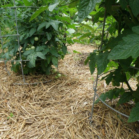 wheat straw mulch around tomato plants