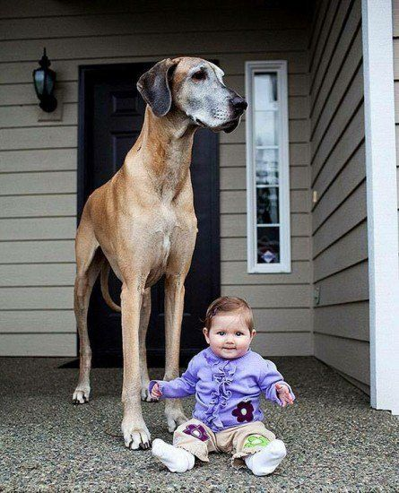 16 Biggest Dogs In The World It's been said that TV is the best babysitter…I think I'd rather have this guy. Woof!