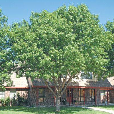 Arizona Ash for Sale | Fast Growing Desert Trees - Moon Valley Nursery Phoenix Arizona